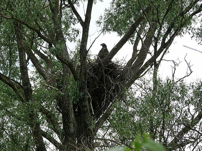 Окольцованный орлан-белохвост на гнезде. Фото Р. Бекмансурова.
