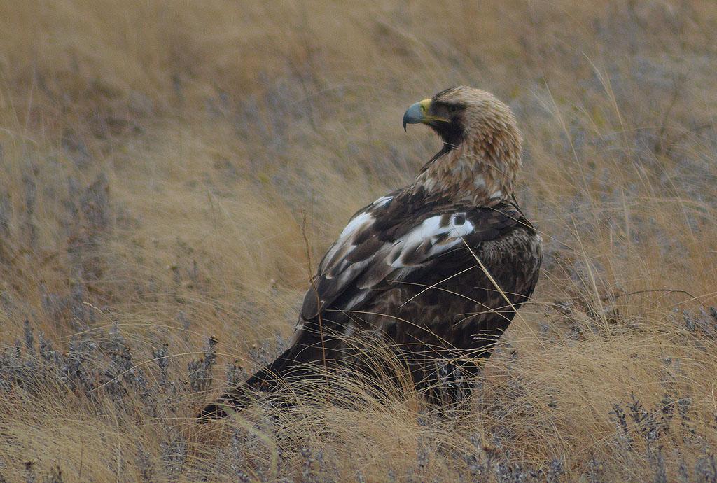 Орёл-могильник. Фото И. Карякина