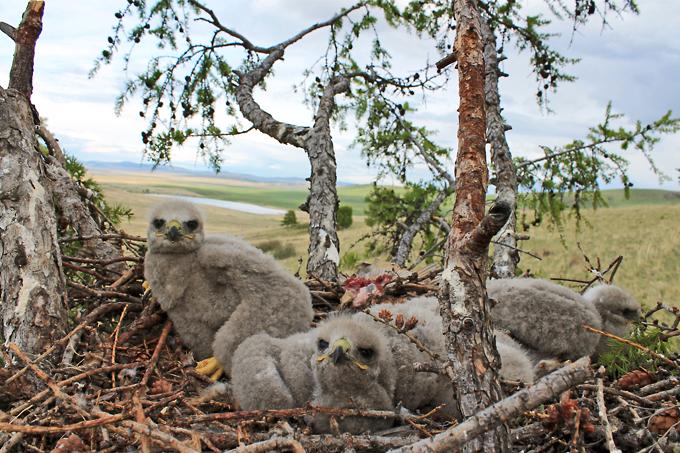 Птенцы мохноногого курганника в гнезде