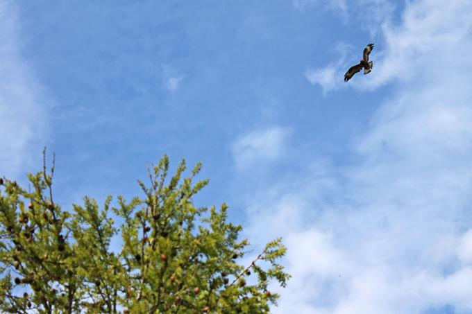 Мохноногий курганник над гнездом