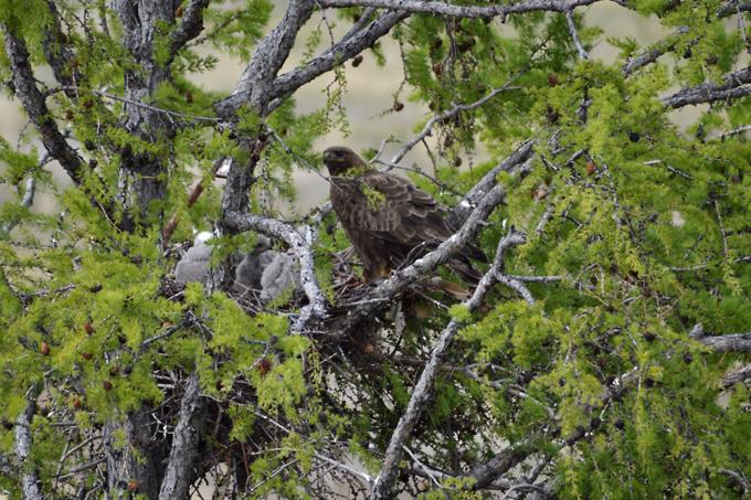 Самка мохноногого курганника на гнезде с птенцами