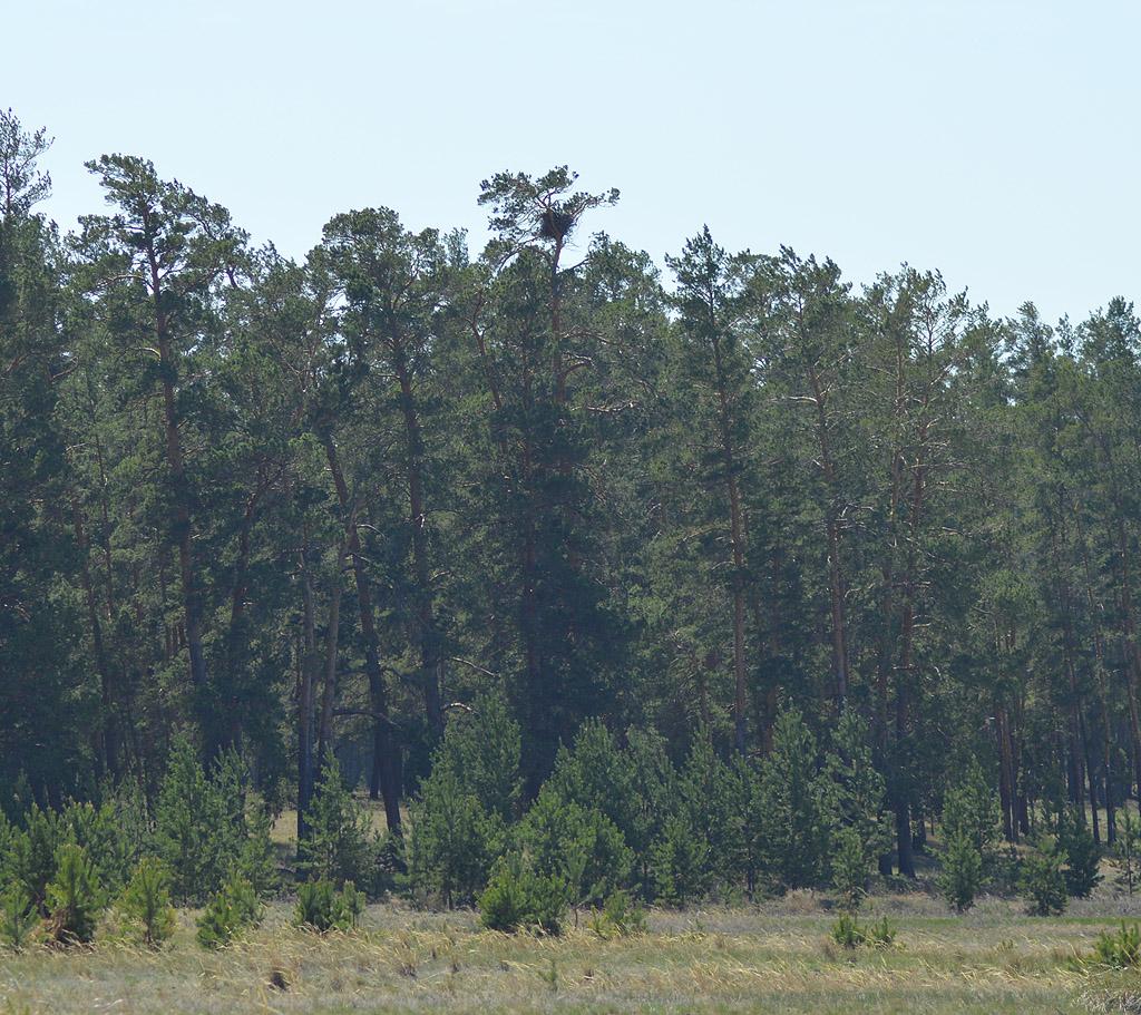 Большинство редких видов хищных птиц устраивают гнёзда в сохранившихся участках старовозрастного леса в опушечной зоне боров. На фото гнездо орла-могильника. Фото И. Карякина