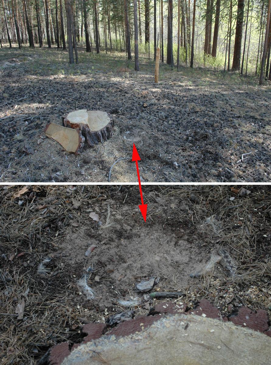 Уничтоженное рубками гнездо филина в Егорьевском заказнике. Фото И. Карякина