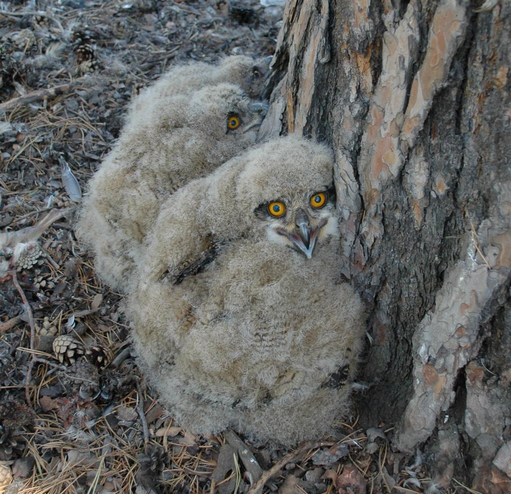 Птенцы филина в гнезде под сосной. Фото И. Карякина