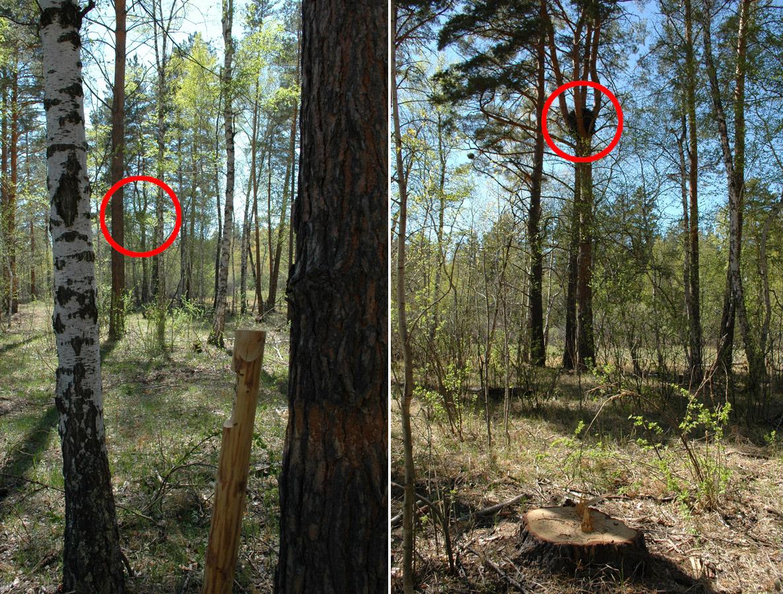 Гнездо большого подорлика с кладкой, погибшей в результате рубок вокруг гнезда, осуществлявшихся ранней весной. Фото И. Карякина