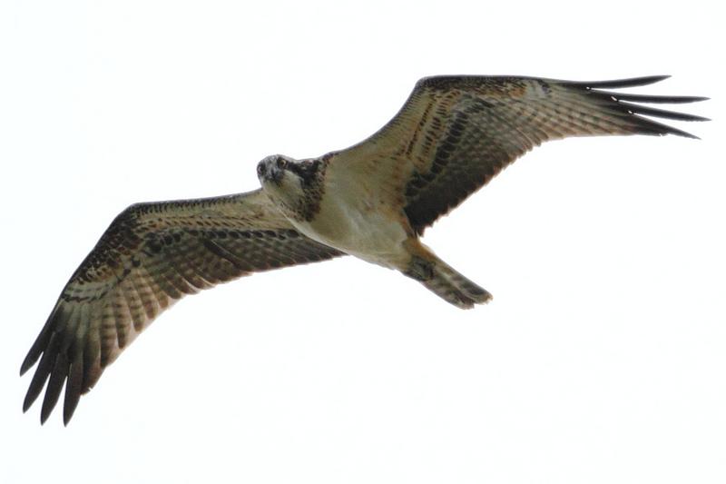 Curious Osprey
