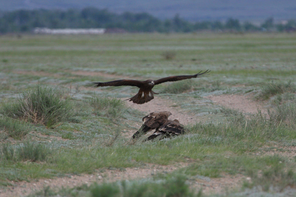 Black Kite attacking 2st year Steppe Eagle
