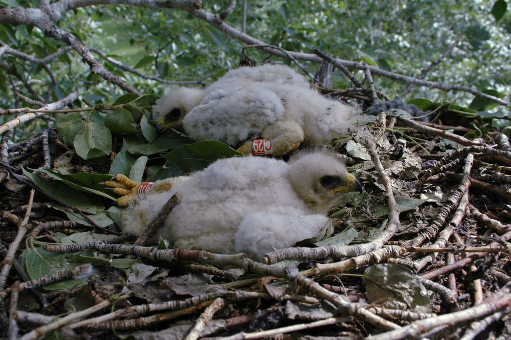 Booted Eaglets