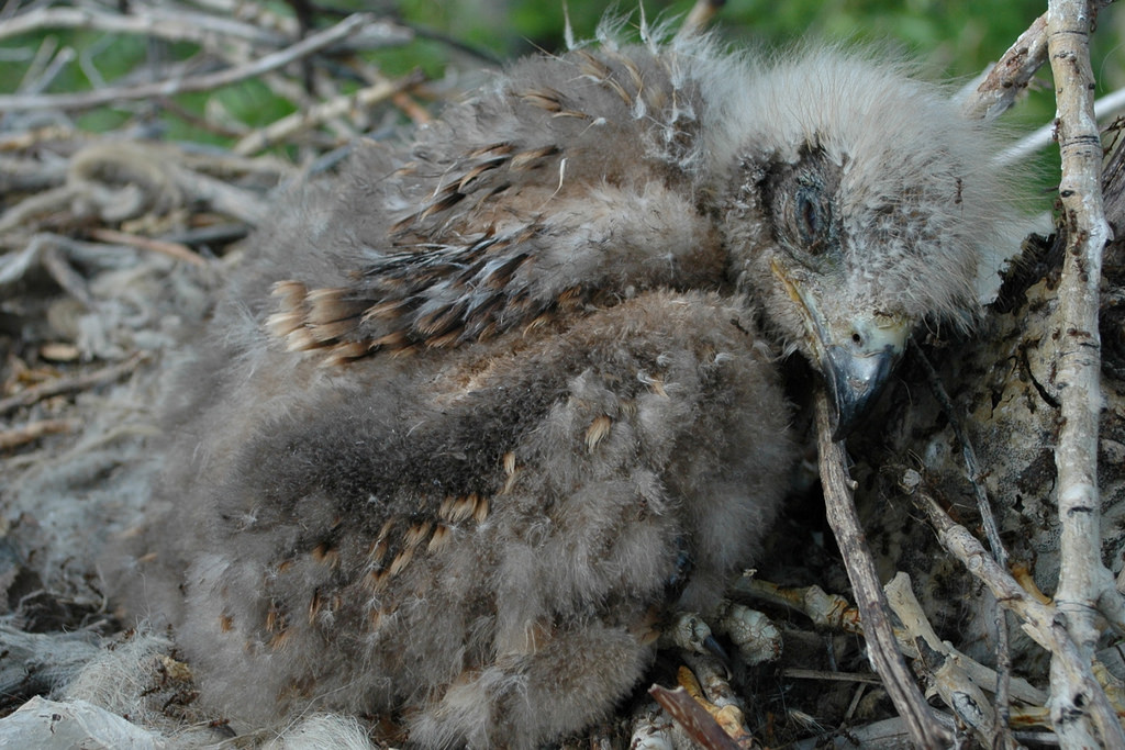 Nestling of the Black Kite harassed by ants