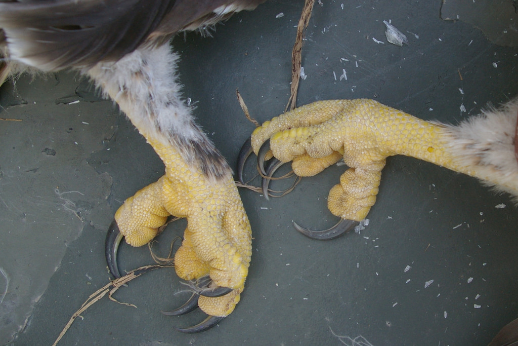 """Hind limbs of Upland Buzzard""""s siblings"""