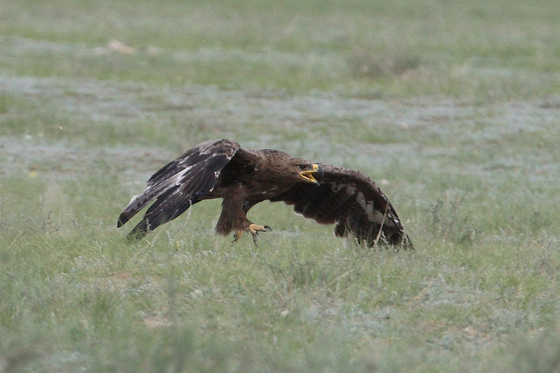Galloping Steppe Eagle