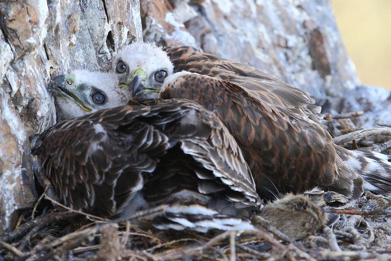 Upland Buzzard nestlings
