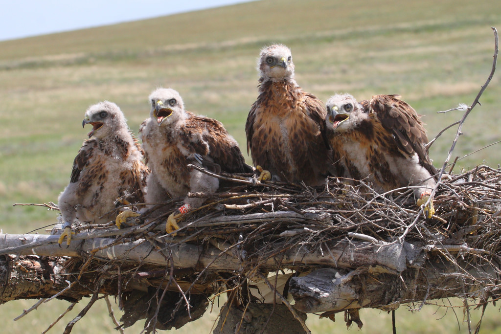 Cheerful company of Upland Buzzards nestings