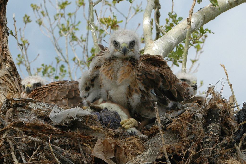 Three nestlings of Upland Buzzard