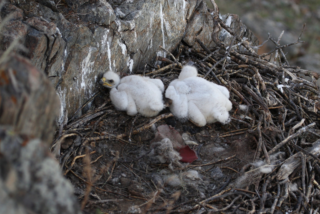 Steppe Eagle nestlings