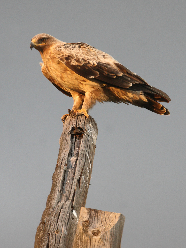 Steppe eagle 2nd year