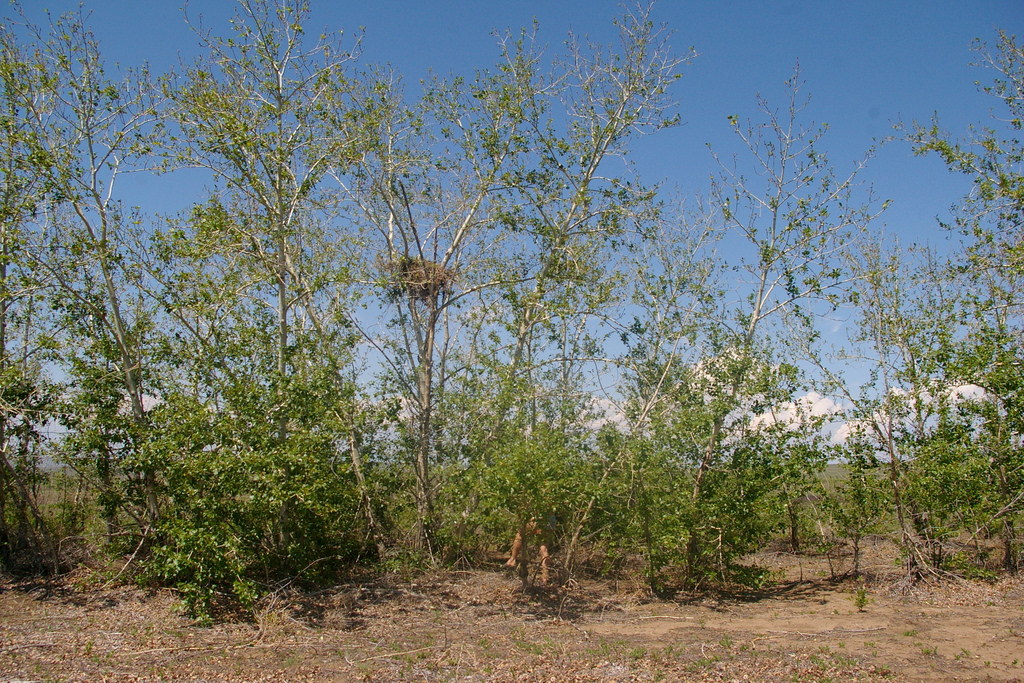 Poplar shelterbelt in Tuva Depression