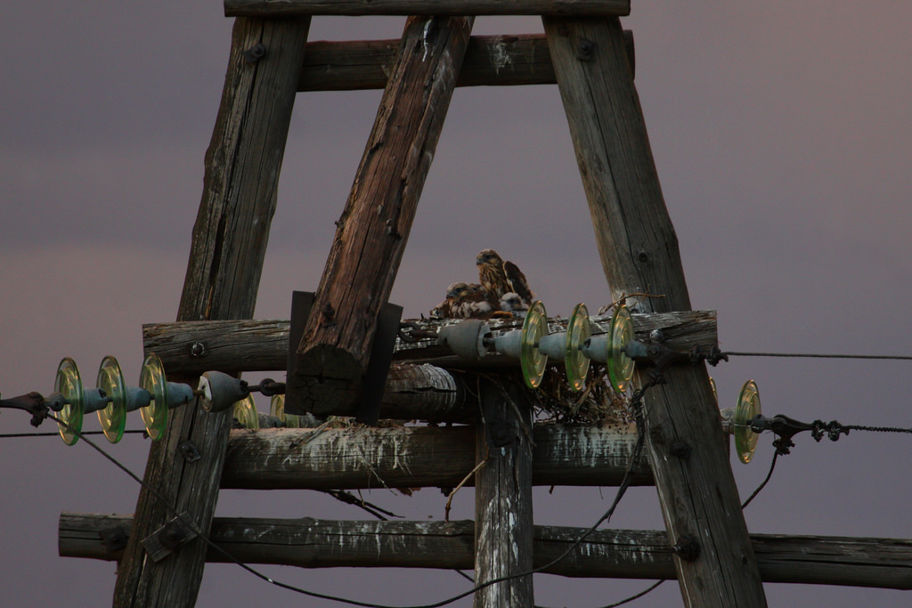 Sakers nest on the pylon