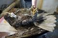 Мойка орлана-белохвоста, попавшего в мазут