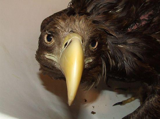Этого орлана спасти не удалось. Сколько еще редких птиц погибнет, пока наши чиновники наконец раскачаются?