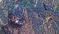 Веб-камера на гнезде филина в Латвии