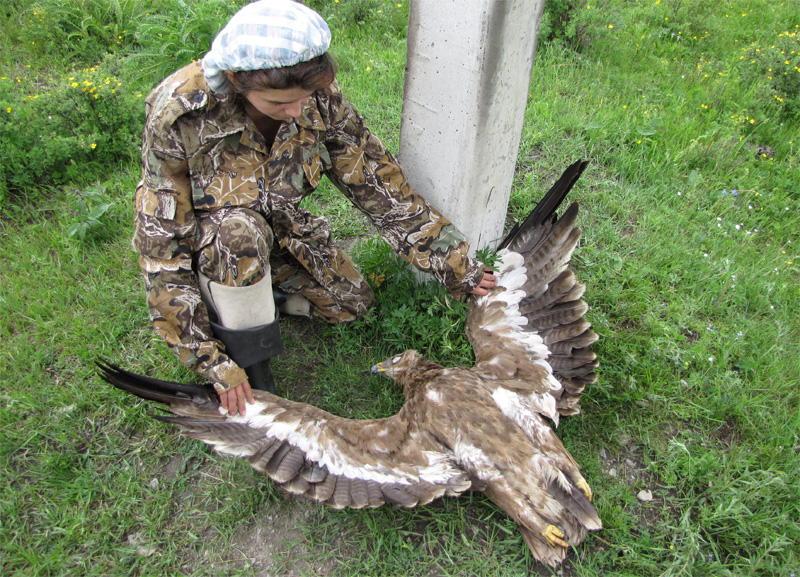 Эльвира Николенко осматривает погибшего на ЛЭП степного орла. Фото Сергея Важова
