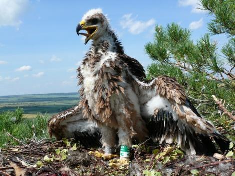 Птенец солнечного орла (могильника), окольцованный в Татарстане. Фото Ринура Бекмансурова