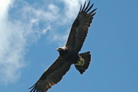 Взрослый солнечный орел. Фото Эльвиры Николенко
