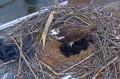 Вебкамера на гнезде скопы в Ричмонде