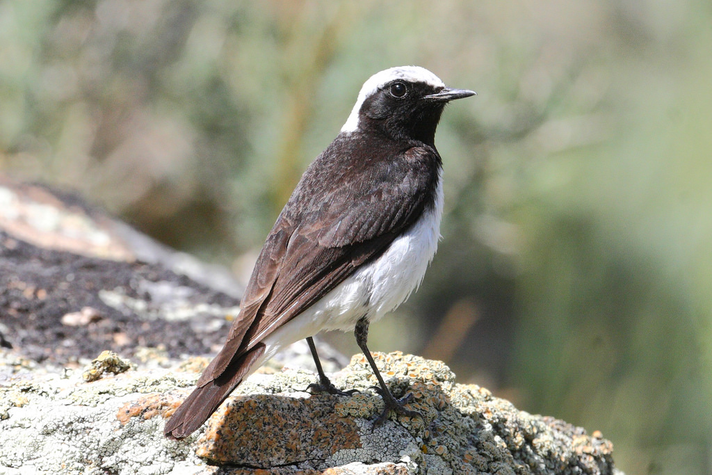 Pied Wheatear, male