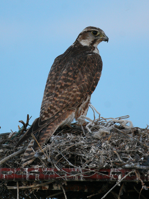 Female Saker on the nest