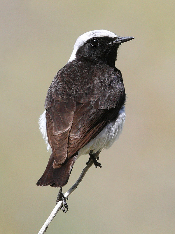 Male Pied Wheatear