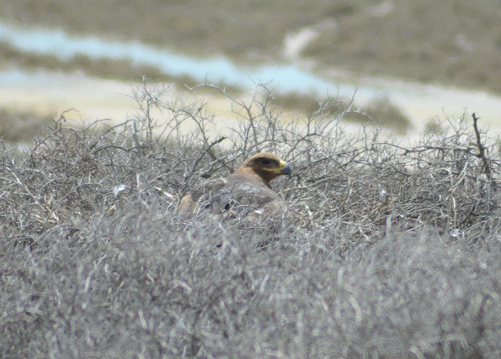 Степной орёл на кладке в Турции. Фото И. Карякина