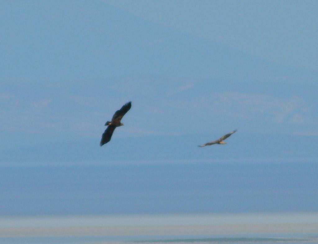 Степной орёл отгоняет курганника от гнезда. Фото И. Карякина
