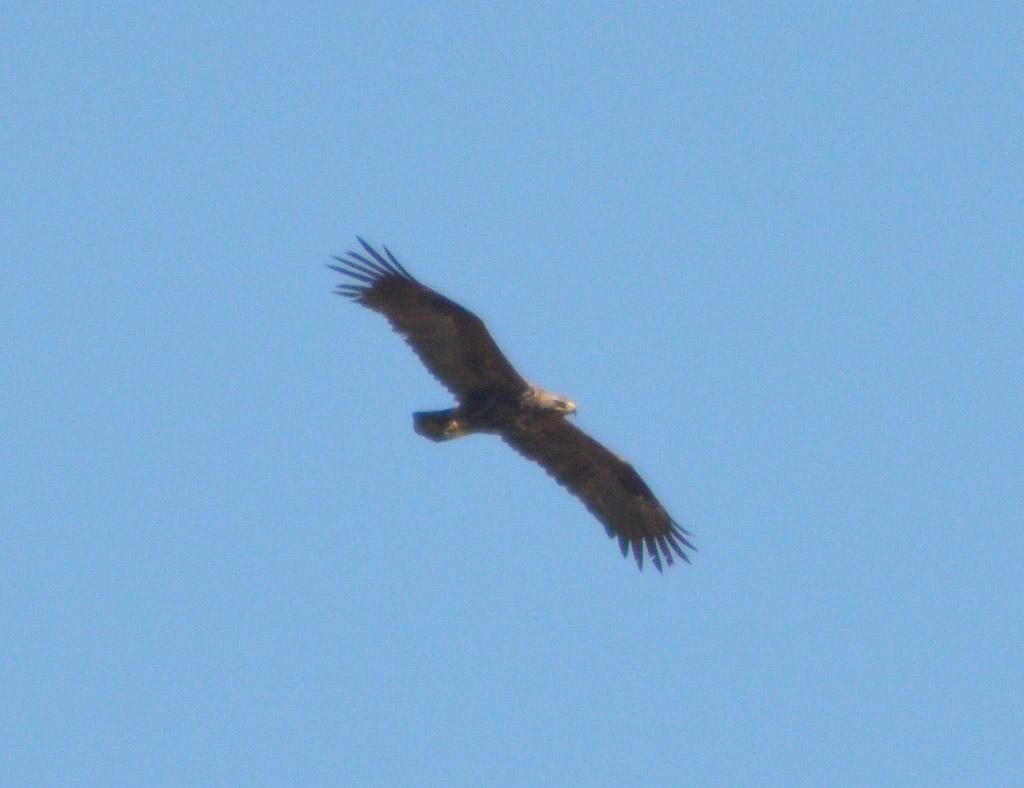 Гибрид степного орла и орла-могильника. Фото И. Карякина