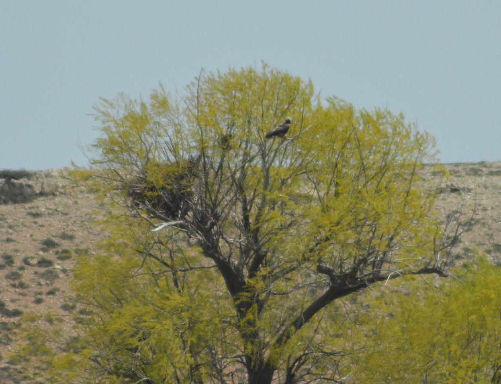 Орёл-могильник у гнезда. Фото И. Карякина