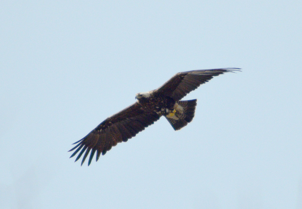 Самка орла-могильника. Фото И. Карякина