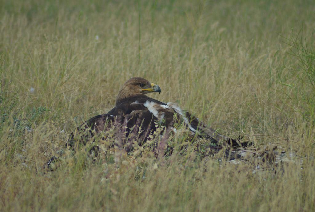 Самка степного орла на гнезде. Фото И. Карякина