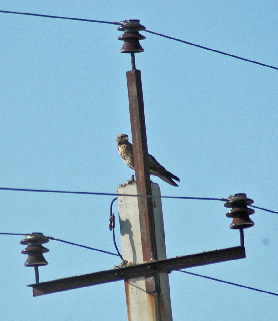 Канюк на опоре птицеопасной ЛЭП. Фото Э. Николенко