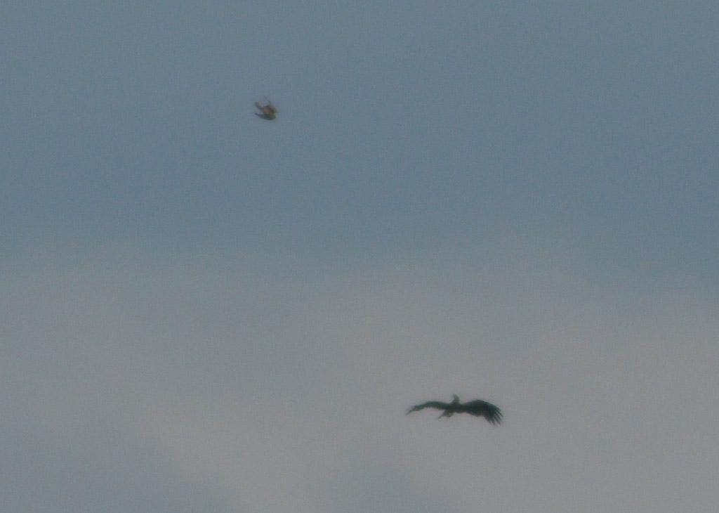 Балобан атакует орла-могильника. Фото И. Карякина