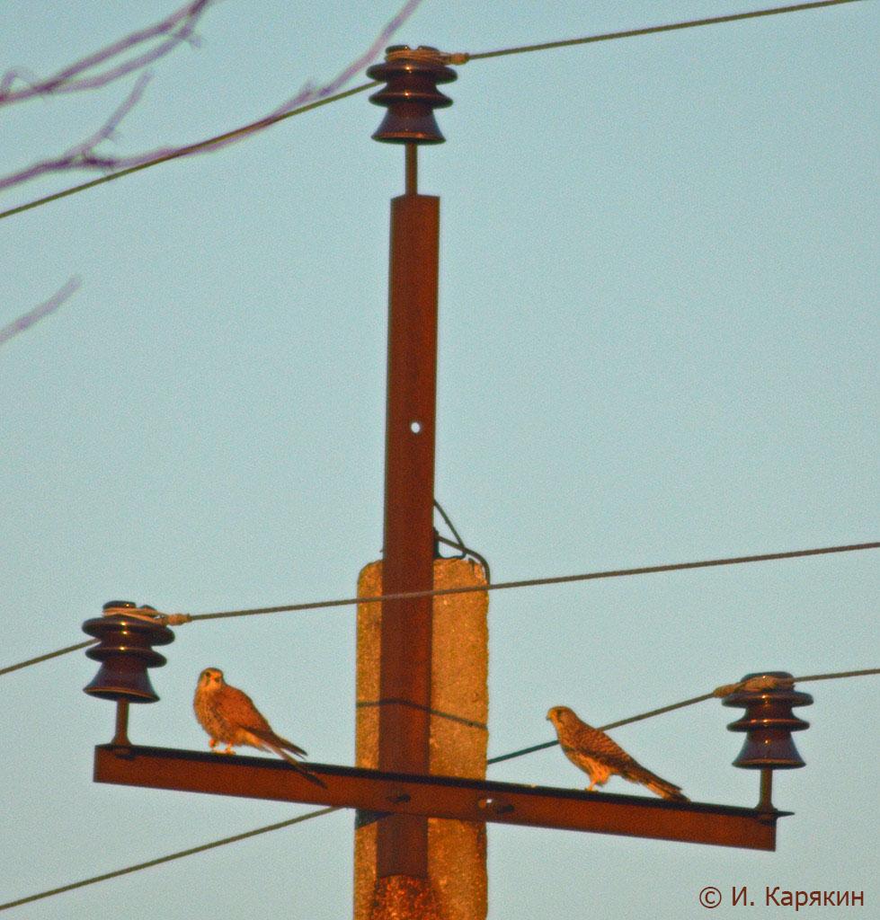Пустельги на опоре птицеопасной ЛЭП