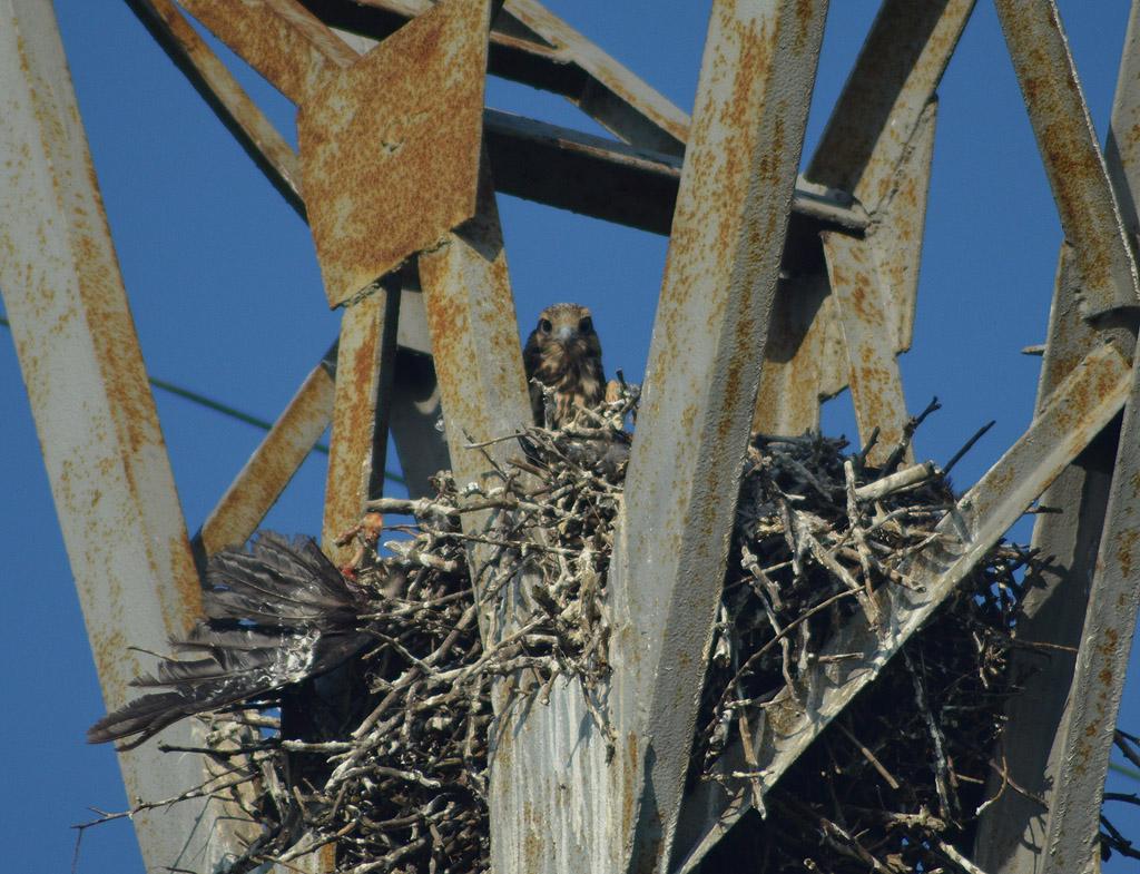 Балобан в гнезде на опоре ЛЭП. Фото И. Карякина