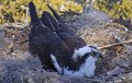 Вебкамера на гнезде скопы в штате Джорджия (США)
