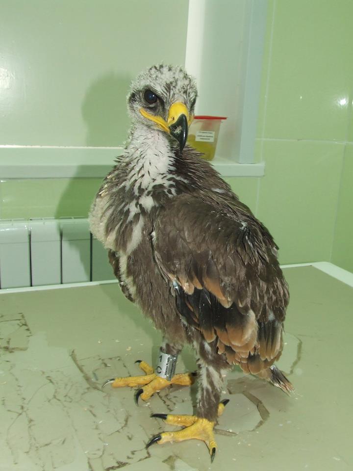 Птенец степного орла недоеденный четвероногим хищником на реабилитации в Ульяновске. Фото Г. Пилюгиной
