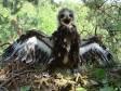 Большой подорлик. Фото с сайта Украинского центра исследований хищных птиц