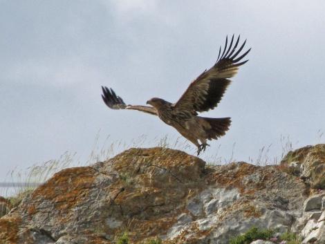 Солнечный орёл (орёл-могильник). Фото: Игорь Карякин