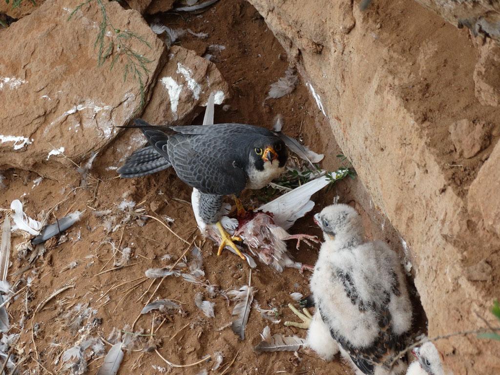 В гнезде сапсана. Фото Р. Бекмансурова