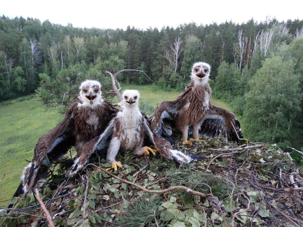 В гнезде орла-могильника на вершине сосны. Фото Р. Бекмансурова