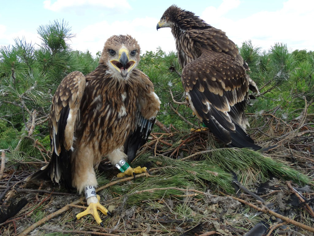 Птенцы орла-могильника. Фото Р. Бекмансурова