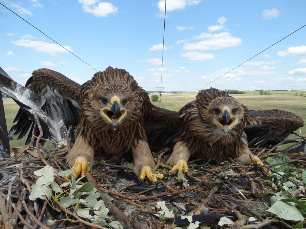 Птенцы орла-могильника в гнезде на опоре ЛЭП. Фото Р. Бекмансурова